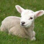 lamb-outside