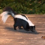 Skunk-On-Deck