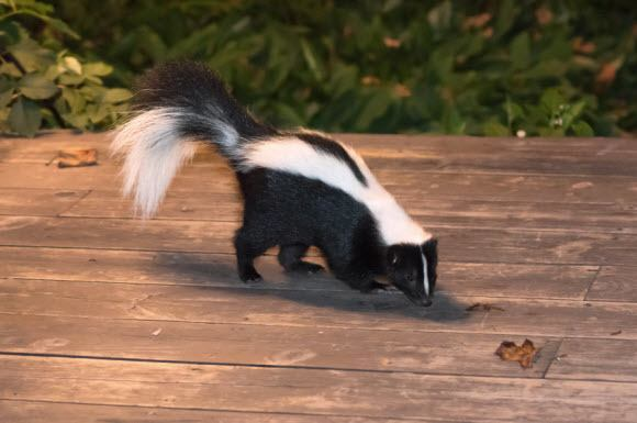 How To Remove Skunk Smell From Wood 187 How To Clean Stuff Net