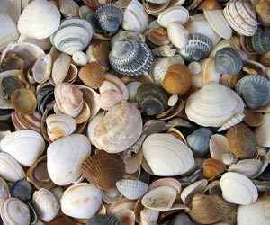 cleaningseashells