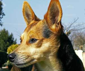 How to clean Dogs: How to Clean Your Dog's Ears