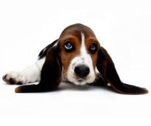 How to clean Dogs: How to Clean a Dog's Ears